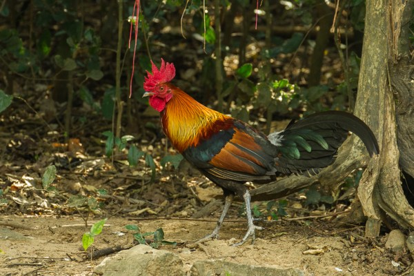 Red junglefowl Wikipedia
