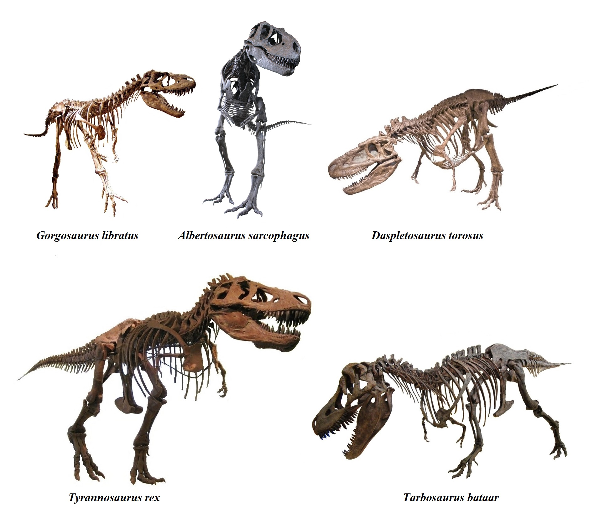 Images About Tyrannosaurs