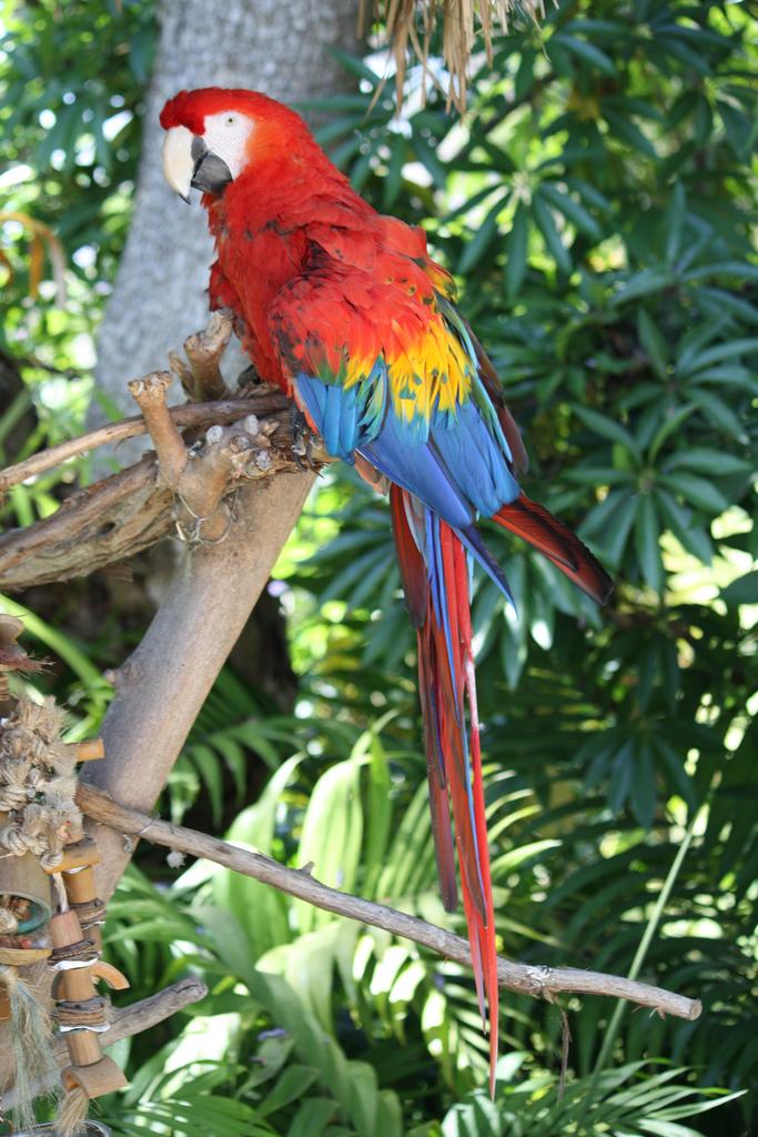 papegaai  WikiWoordenboek