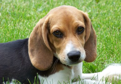 Beagle Puppies For Sale In Southern Illinois