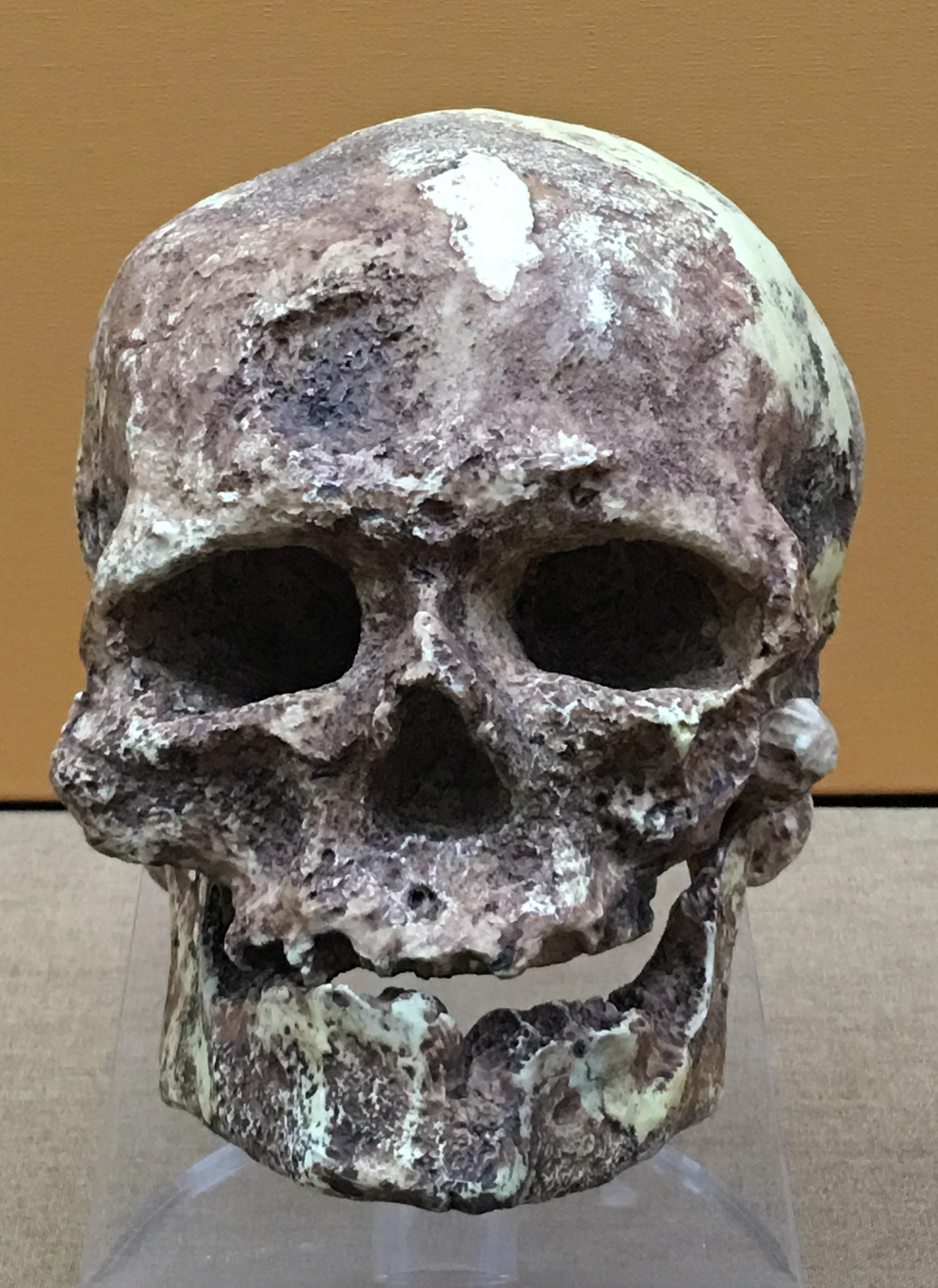 Homo Cro Magnon : magnon, File:Homo, Sapiens, Cro-Magnon, BMNH.jpg, Wikimedia, Commons