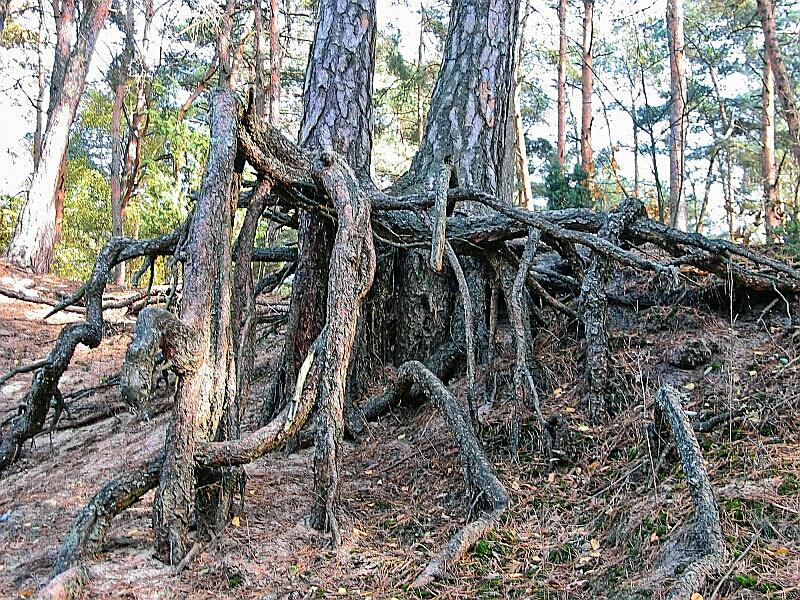 File:Pinus silvestris roots001xx.jpg