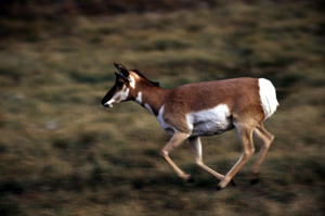 Pronghorn Antelope - Antilocapra americana ; W...