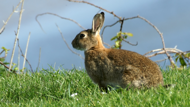 https://i0.wp.com/upload.wikimedia.org/wikipedia/commons/6/65/Rabbit_%28Oryctolagus_cuniculus%29_%281%29.jpg
