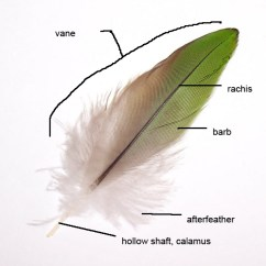 Diagram Types Of Feathers River Features Feather - Simple English Wikipedia, The Free Encyclopedia