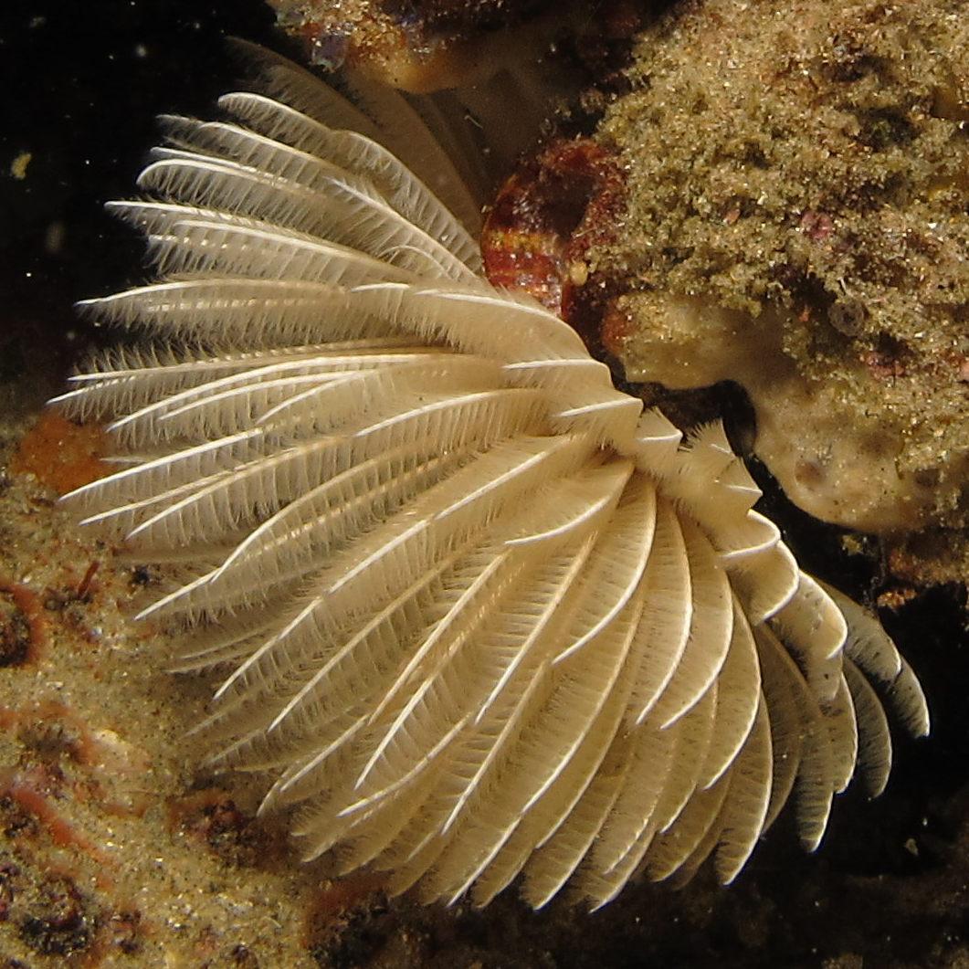 File:polychaete Worm I Presume At Ponta Do Ouro, Mozambique (36250150480).
