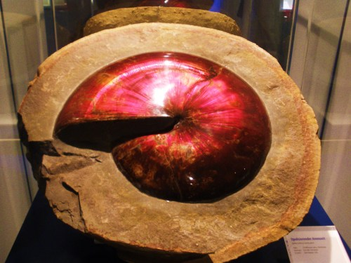 https://i0.wp.com/upload.wikimedia.org/wikipedia/commons/6/67/Sphenodiscus_-_opalized.jpg?resize=500%2C375&ssl=1