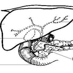 Horse Gi Diagram Wiring For Genie Garage Door Opener Anatomy And Physiology Of Animals The Gut Digestion Wikibooks Liver Gall Bladder Pancreas Jpg
