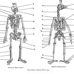 Bird Bone Structure Diagram Three Prong Massager File Belonbirdskel Jpg Wikimedia Commons