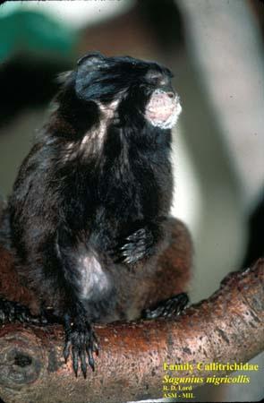 Blackmantled tamarin  Wikipedia