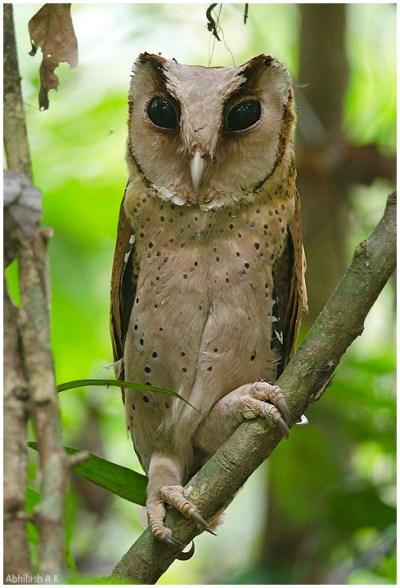 Sri Lanka bay owl - Wikipedia