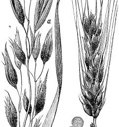 diagram of barley [ 980 x 1887 Pixel ]