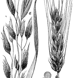 covered smut barley  [ 980 x 1887 Pixel ]