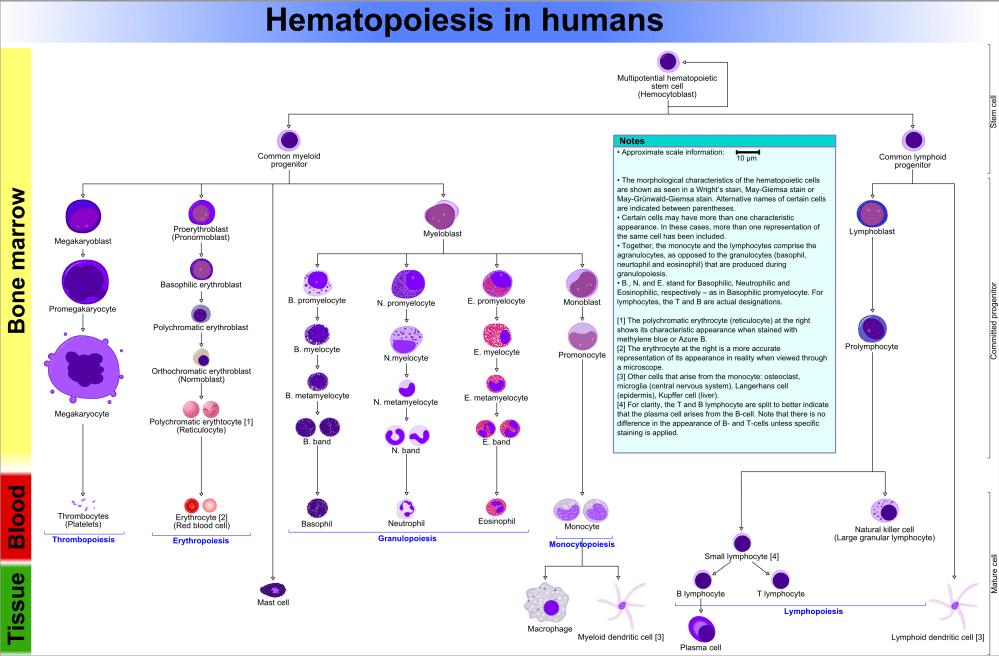 medium resolution of file hematopoiesis human diagram png