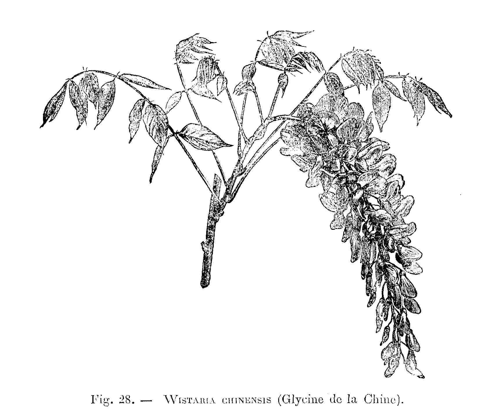 File Wistaria Chinensis Dessin