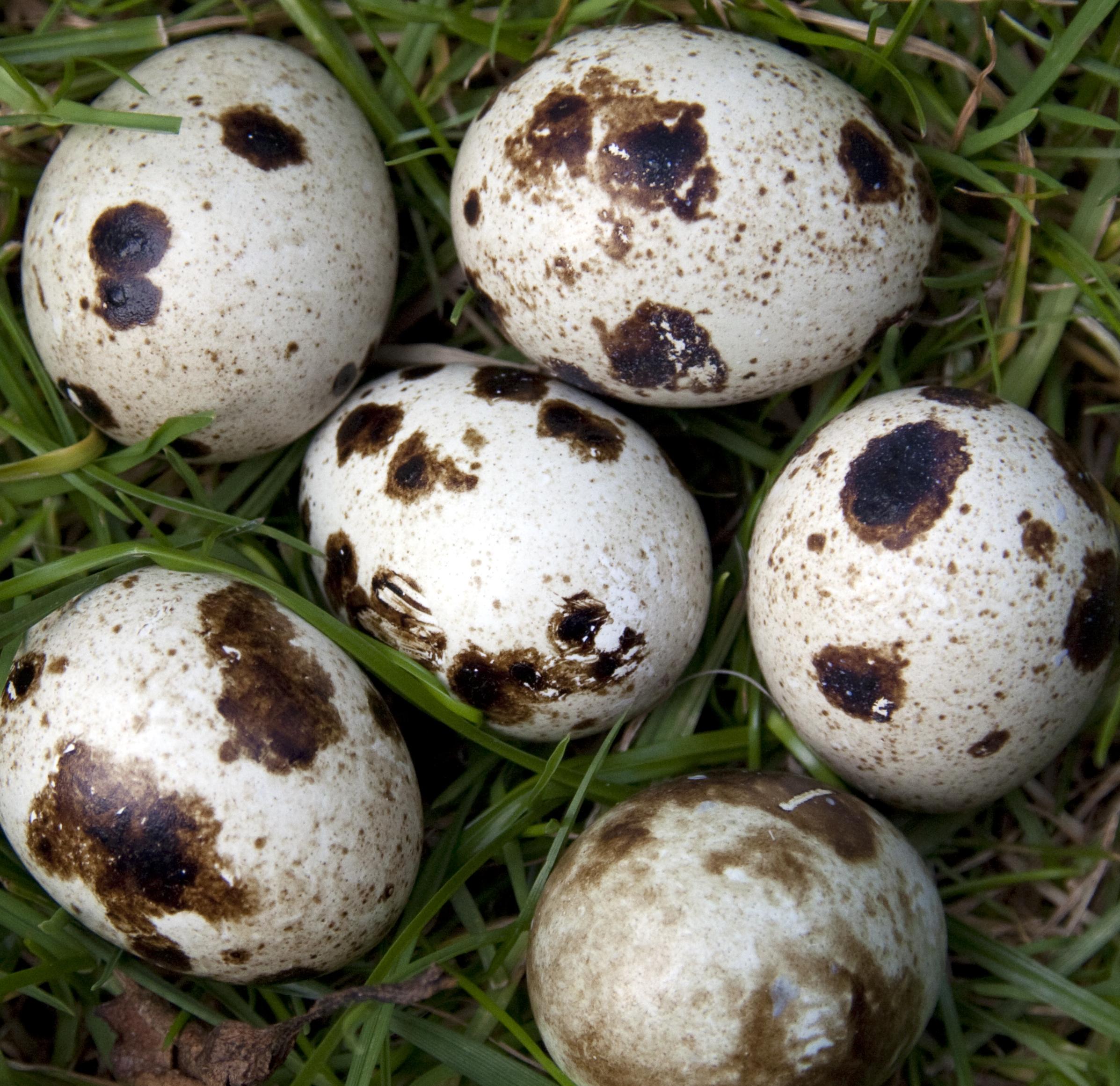 File:Quail eggs (3644007419).jpg - Wikimedia Commons