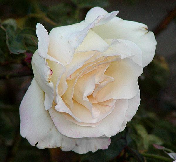 Rosa Garden Party  Wikipedia