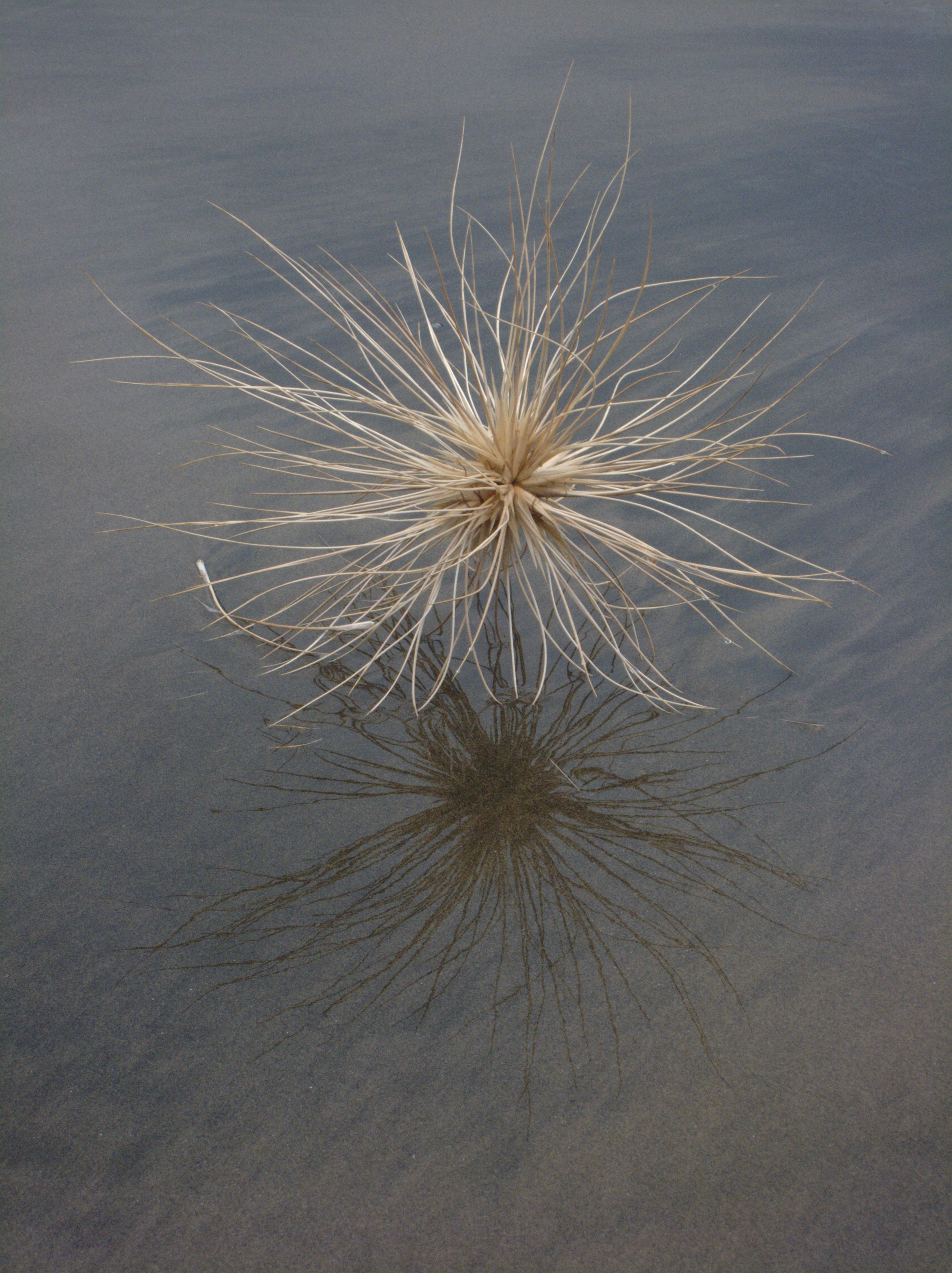 https://i0.wp.com/upload.wikimedia.org/wikipedia/commons/6/6a/Spinifex_sericeus_seed_head.jpg