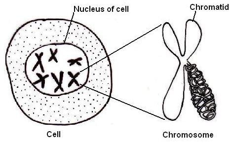 La célula con su núcleo y los cromosomas en su interior. Fuente Wikipedia