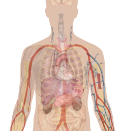 man shadow with organs png [ 1367 x 1897 Pixel ]
