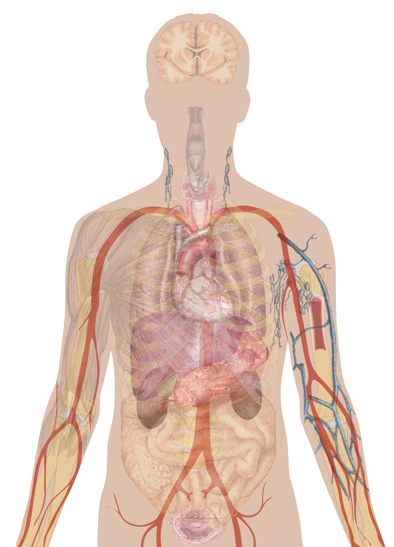 hight resolution of man shadow with organs png