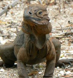 rhinoceros iguana [ 1200 x 946 Pixel ]