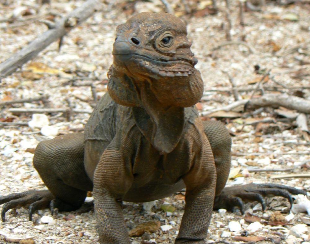 medium resolution of rhinoceros iguana