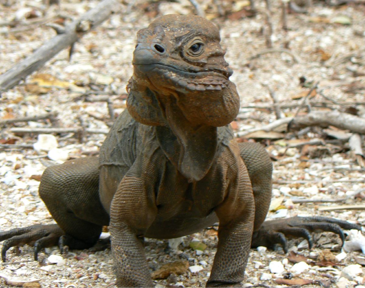 hight resolution of rhinoceros iguana