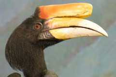 PHOTO: Rhinoceros hornbill (Buceros rhinoceros).