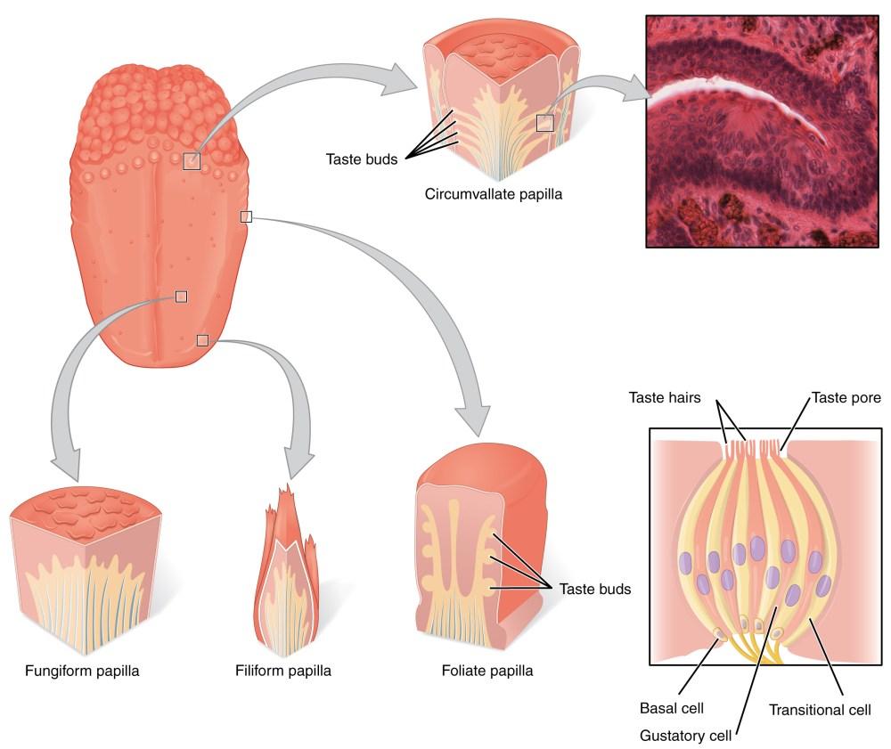 medium resolution of taste receptor diagram