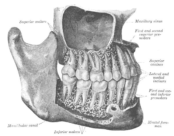 human mandible diagram case ih 5240 wiring mandibular canal - wikipedia