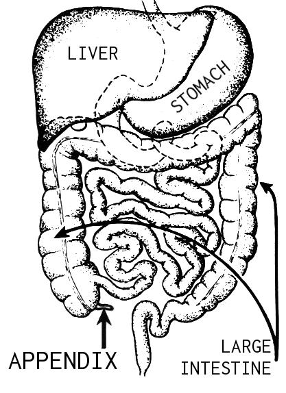 Fil:Appendix (PSF).png