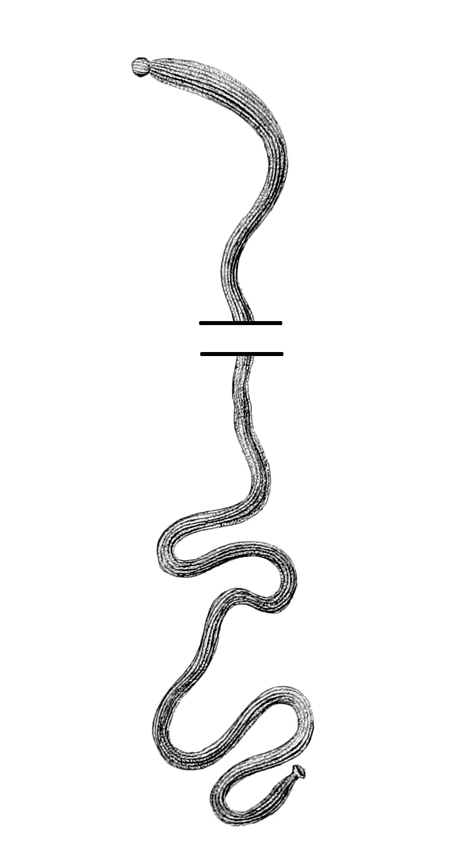 Baseodiscus delineatus