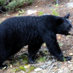 Black Bear Vitals Diagram Trailer Light Wiring Uk Video Beware Of Predatory Male Bears