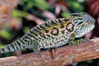File:Carpet Chameleon (Furcifer lateralis) female ...