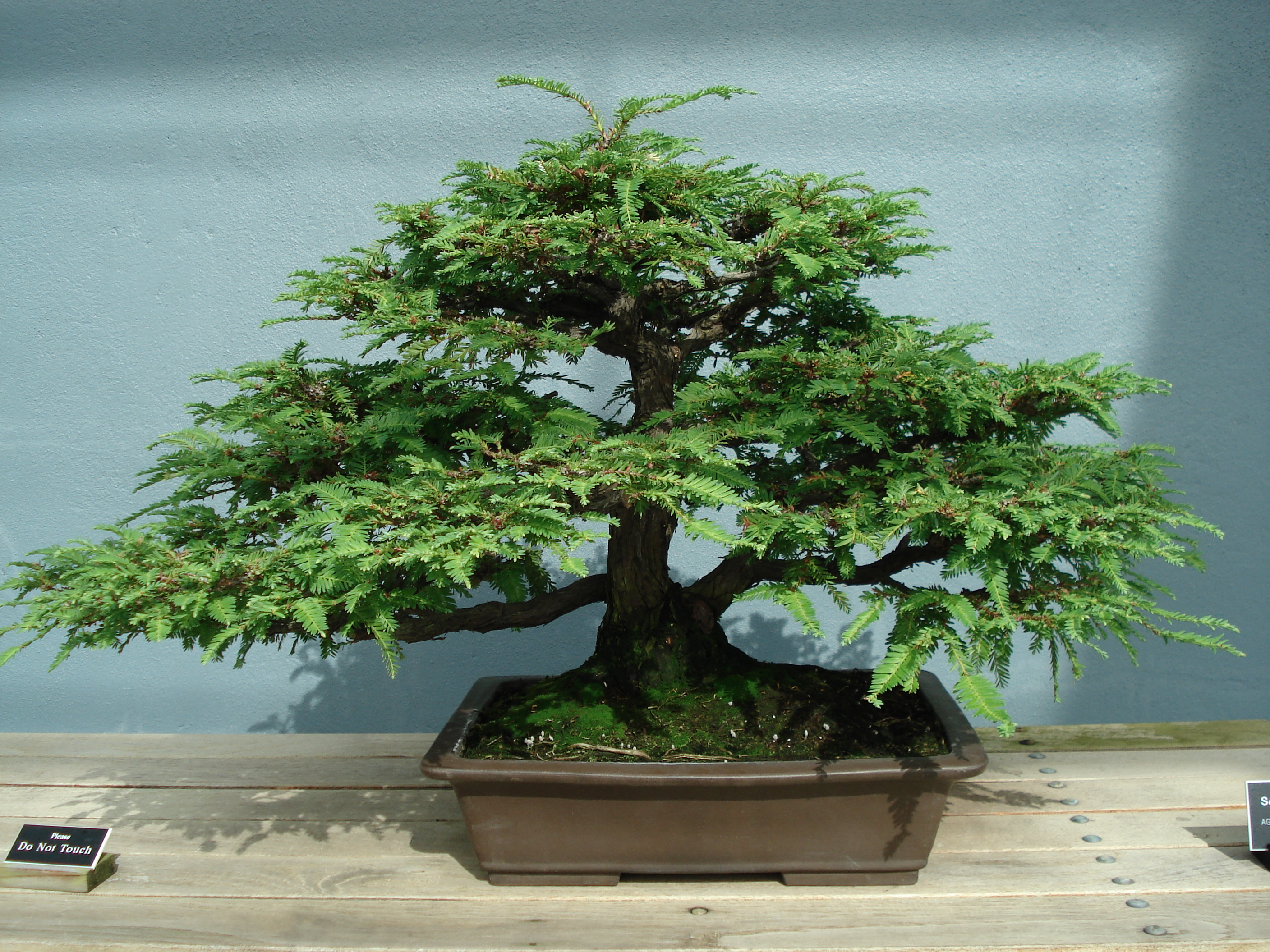 What Is Bonsai Training Wire Trees For Sale Pretoria Water Wiring Yew Clicknow