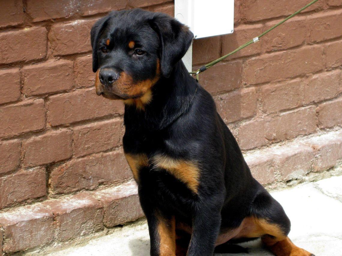 Rottweiler dog (1) Pitbull Dogs Are Not Dangerous