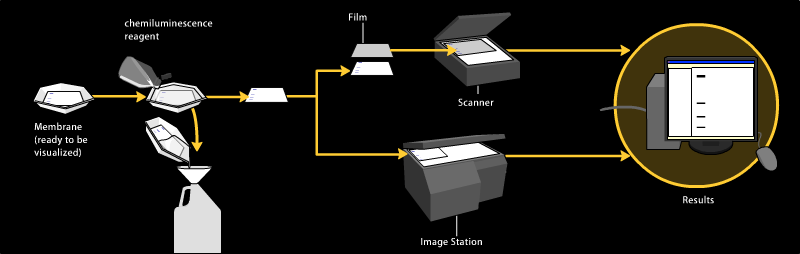 File:Western blot chemiluminescent detection.png