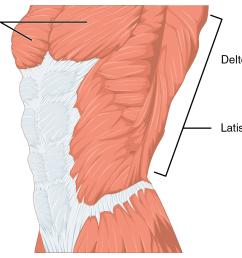 pectorali major muscle diagram [ 1245 x 870 Pixel ]