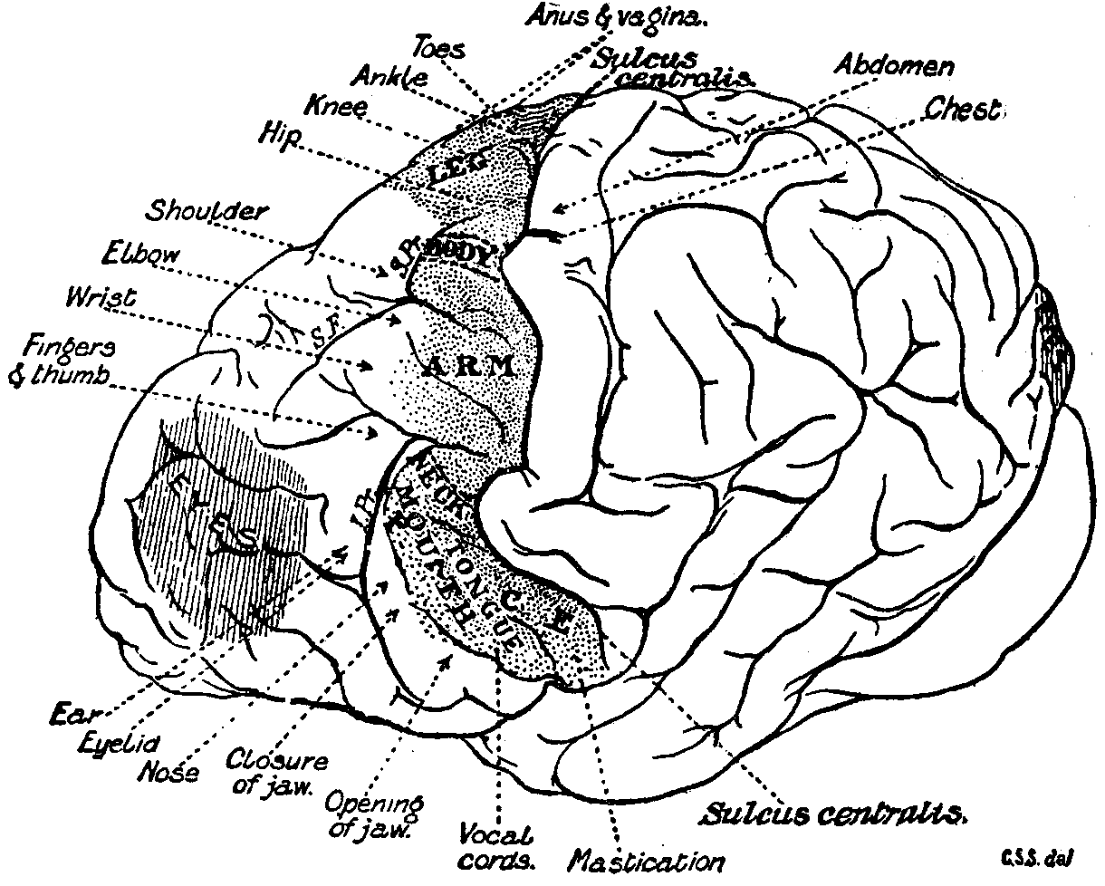 File Eb Chimpanzee Brain