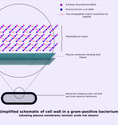 file gram positive cellwall schematic png [ 1482 x 1177 Pixel ]