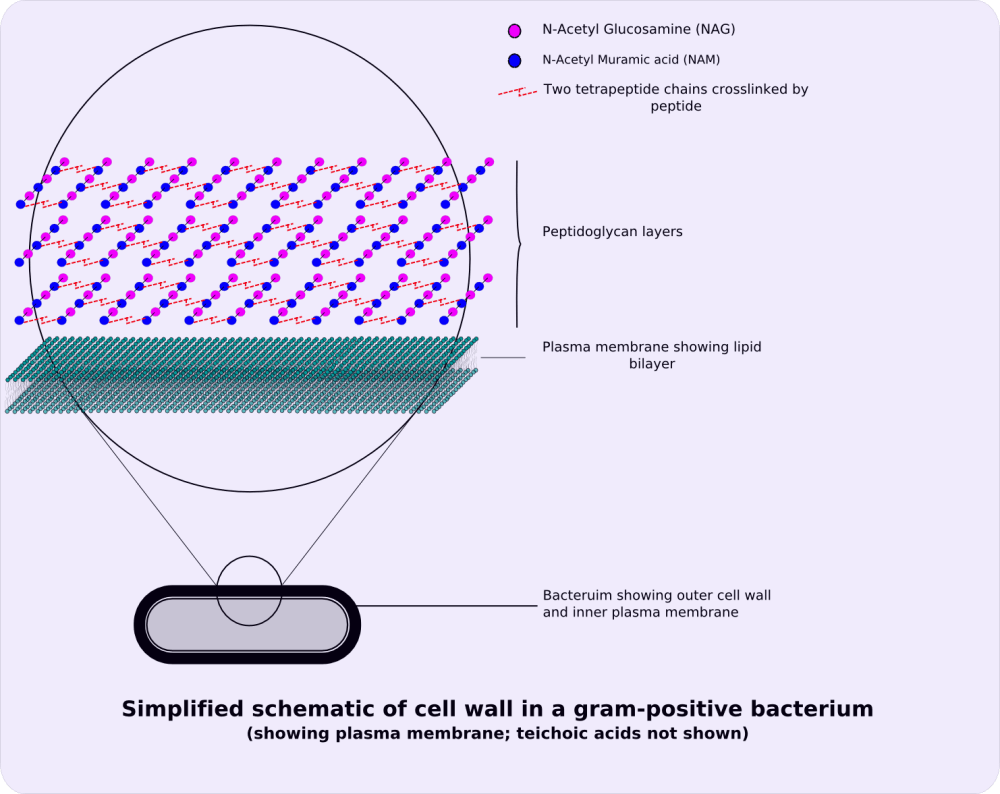 medium resolution of file gram positive cellwall schematic png