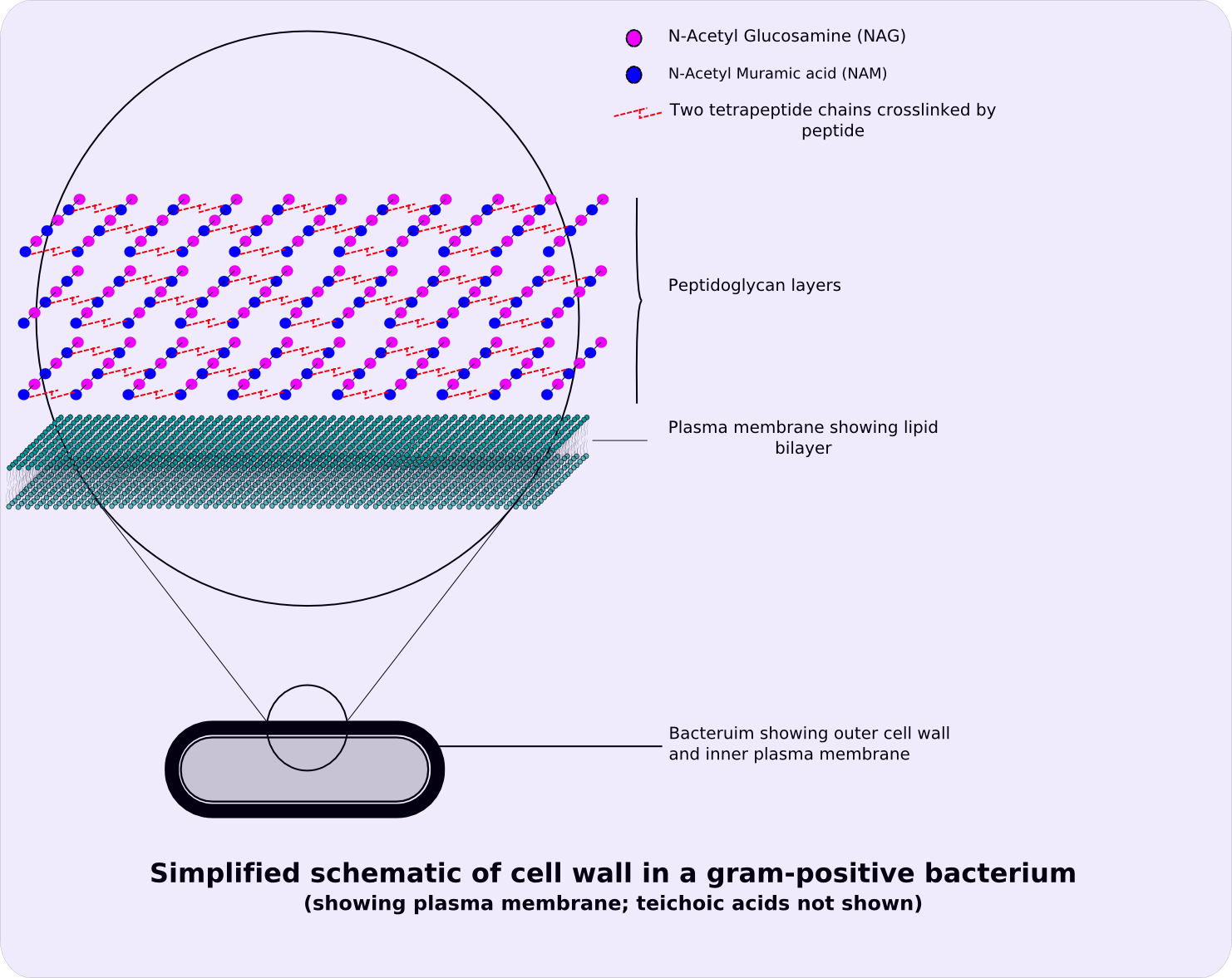 hight resolution of file gram positive cellwall schematic png