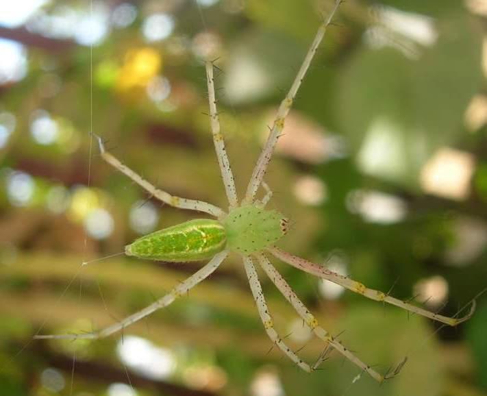Peucetia Wikispecies