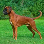 Boxer Dog Wikipedia