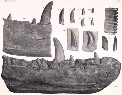 https://i0.wp.com/upload.wikimedia.org/wikipedia/commons/6/6f/Megalosaurus_dentary.jpg?resize=500%2C391&ssl=1