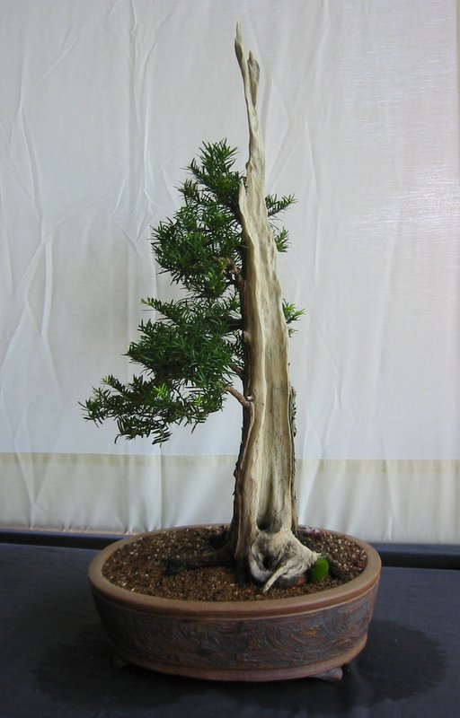 FileYew bonsai Bonsai Soceity of Greater Hartfordjpg  Wikipedia