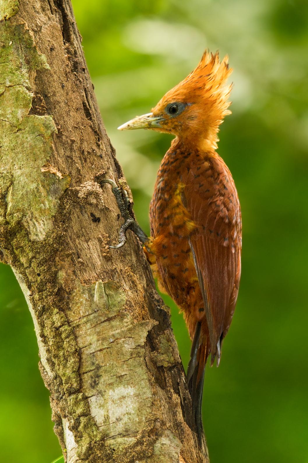 Chestnutcolored woodpecker  Wikipedia