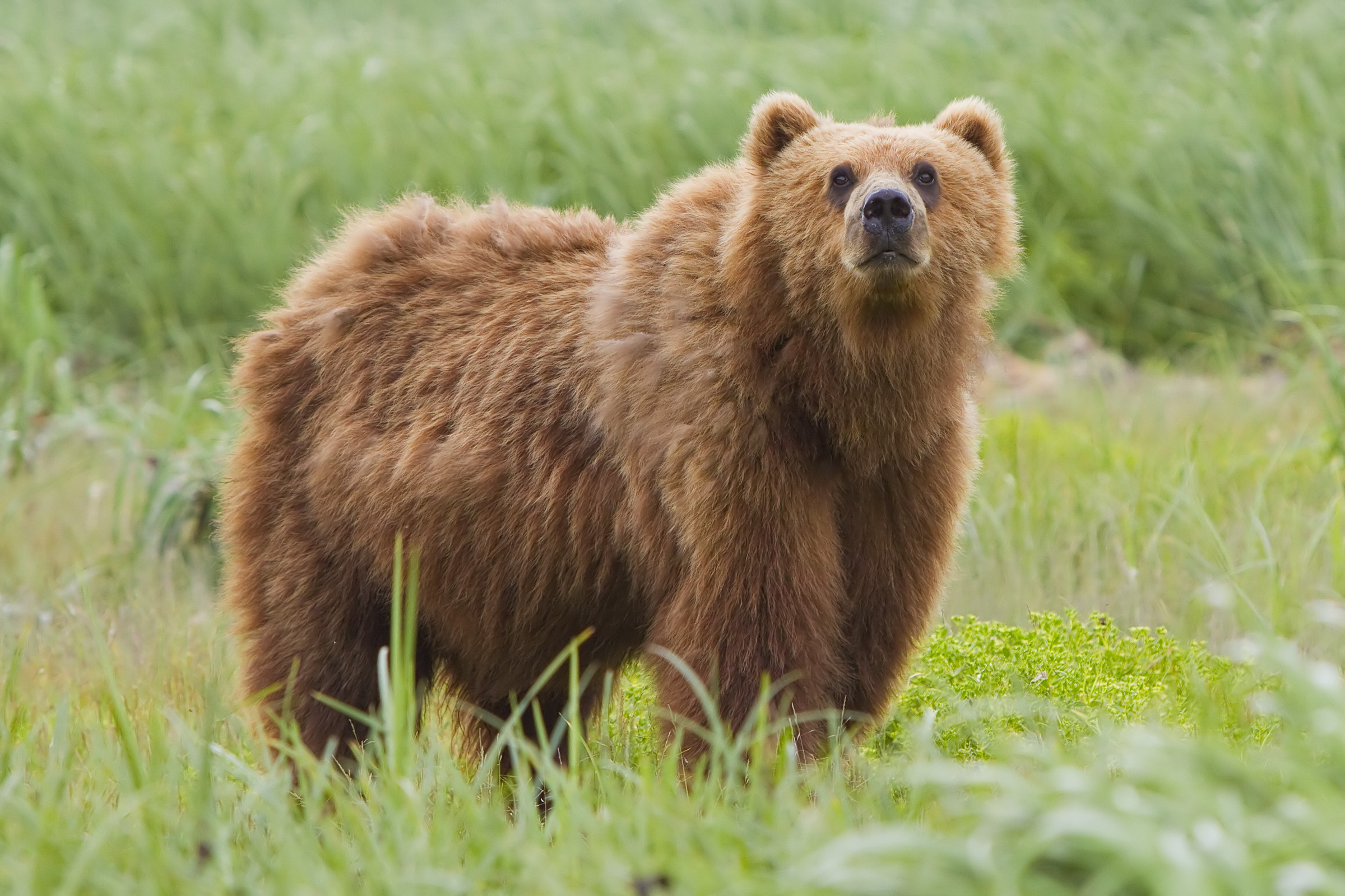 bear wikipedia