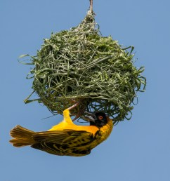 male black headed weaver ploceus cucullatus building his nest [ 4151 x 2767 Pixel ]